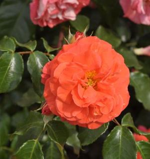 Hochstamm Rose Gebrüder Grimm® 80-100cm
