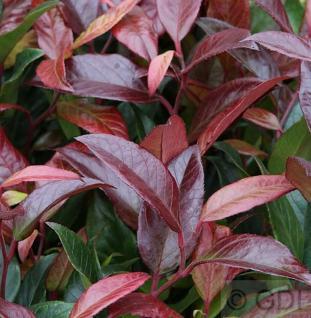 Kleine Traubenheide Royal Ruby 20-30cm - Leucothoe keikei
