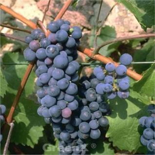blaue kernlose Weinrebe Attika 80-100cm - Vitis