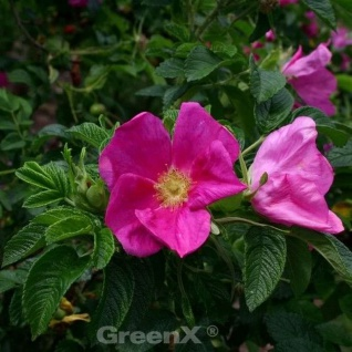 Apfelrose Rubra 30-40cm - Rosa rugosa rubra