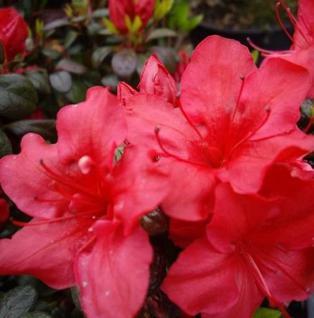 Japanische Azalee Johanna 30-40cm - Rhododendron obtusum - Zwerg Alpenrose