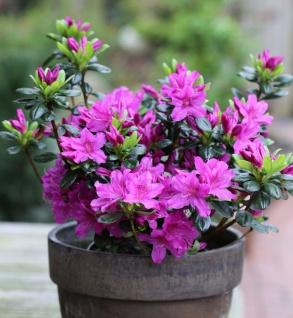Japanische Azalee Lady Dark 20-25cm - Rhododendron obtusum - Zwerg Alpenrose