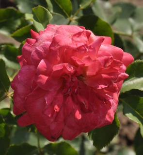 Floribundarose Midsummer 30-60cm