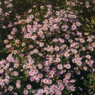 Myrtenaster Lovely - Aster alpinus