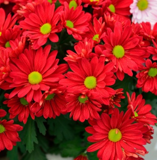 Herbstaster Duchess of Edinburgh - Chrysanthemum zawadskii