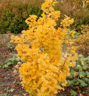 Kleiner Ginkgobaum Simon 40-50cm - Ginkgo biloba