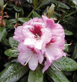 Großblumige Rhododendron Cassata 30-40cm - Alpenrose