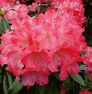 Hochstamm Rhododendron Morgenrot 80-100cm - Alpenrose