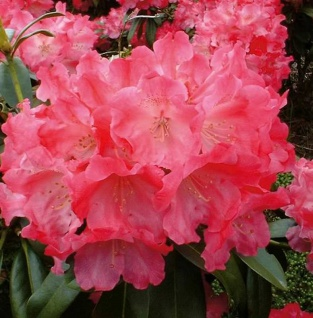 Rhododendron Morgenrot 30-40cm - Alpenrose