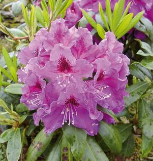 Großblumige Rhododendron Rasputin 50-60cm - Alpenrose