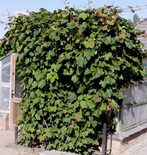 Schmuckwein 125-150cm - Vitis amurensis