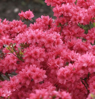 Japanische Azalee Hot Shot Variegated 15-20cm - Rhododendron obtusum - Zwerg Alpenrose