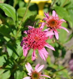 Sonnenhut Pink Double Delight - Echinacea purpurea