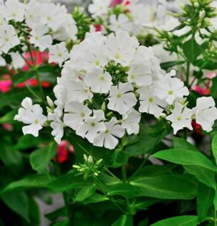 Große Garten-Flammenblume Flame White - großer Topf - Phlox paniculata