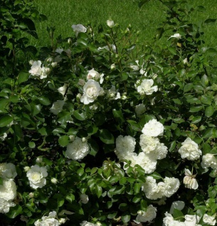 Minirosen White Meidiland 15-20cm