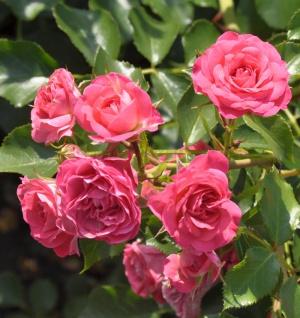 Hochstamm Rose Roxy 60-80cm