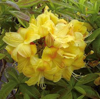 Azalee Golden Sunset 40-50cm - Rhododendron luteum - Alpenrose