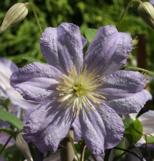 Robuste Waldrebe Prince Charles 60-80cm - Clematis viticella