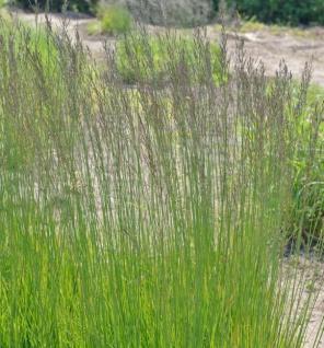 Riesen Pfeifengras Fontäne - Molinia arundinacea