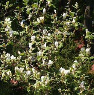 Magnolie Tranquiliry 125-150cm - Magnolia