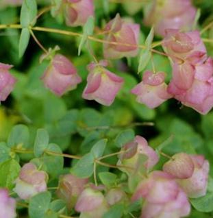 Rundblättriger Garten-Dost Dingle Fairy - Origanum rotundifolium Dingle Fairy