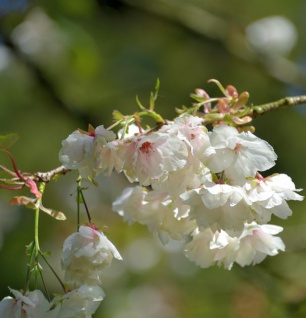 Japanische Zierkirsche Ukon 100-125cm - Prunus serrulata