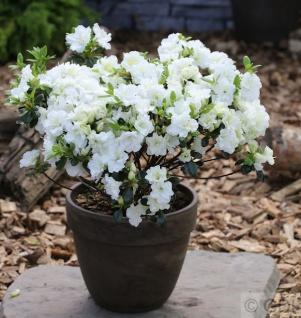 Japanische Azalee Hatsugin 20-25cm Zwerg Alpenrose Rhododendron obtusum