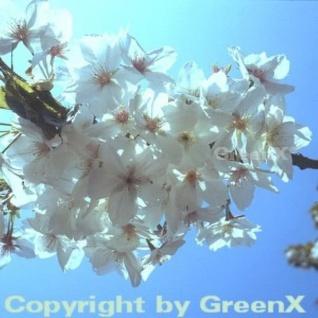 Japanische MaienKirsche 80-100cm - Prunus yedoensis