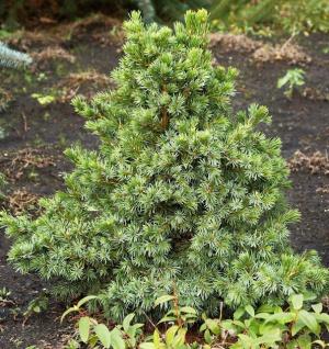 Serbische Zwergfichte Wodan 80-100cm - Picea omorika
