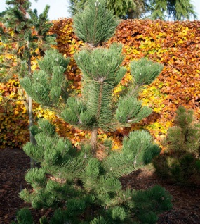 Österreichische Schwarzkiefer Oregon Green 25-30cm - Pinus nigra