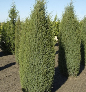 Hochstamm Grüner Kriechwacholder Green Carpet 80-100cm Juniperus communis