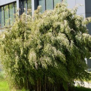 Hecken-Bambus Wolong 125-150cm - Fargesia robusta