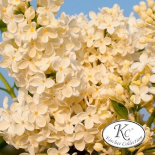 Edelflieder Sterntaler - Kircher-Collection 80-100cm - Syringa vulgaris