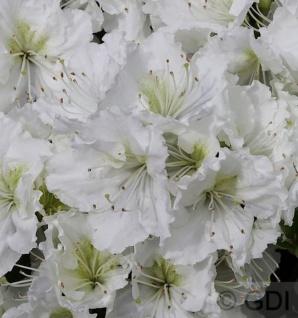 Japanische Azalee Patricia Barmold 30-40cm - Rhododendron luteum - Zwerg Alpenrose