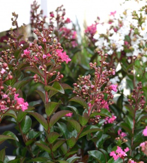 Chinesische Kräuselmyrte Petite Pink Monkie 30-40cm - Lagerstroemia indica