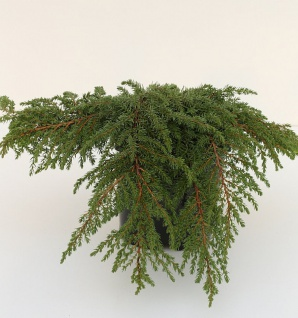 Grüner Kriechwacholder Green Carpet 30-40cm - Juniperus communis