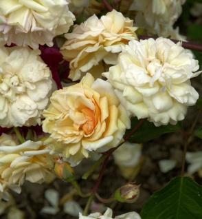 Historische Rose Buff Beauty 30-60cm