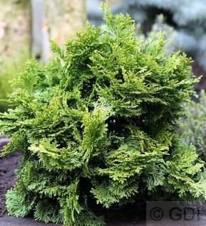 Muschelzypresse Rashahiba 10-15cm - Chamaecyparis obtusa