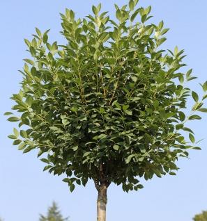 Hochstamm Steppenkirsche Globosa 100-125cm - Prunus fruticosa