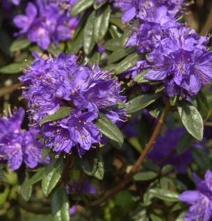 Zwerg Rhododendron Enziana 20-25cm - Rhododendron russatum - Zwerg Alpenrose