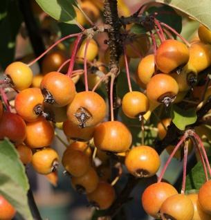 Zierapfelbaum Pom Zai 20-25cm - Malus Hybride