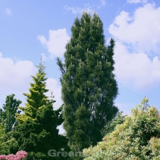 Kleine Säulen Schwarz Kiefer Komet 40-50cm - Pinus nigra