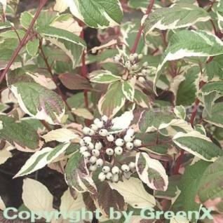 Weißbunter Sibirischer Hartriegel 80-100cm - Cornus alba
