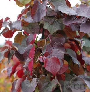Kanadischer Judasbaum Merlot 80-100cm - Cercis canadensis