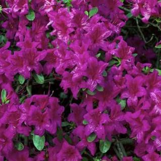 Japanische Azalee Diamant Enzianblau 25-30cm - Rhododendron obtusum - Zwerg Alpenrose