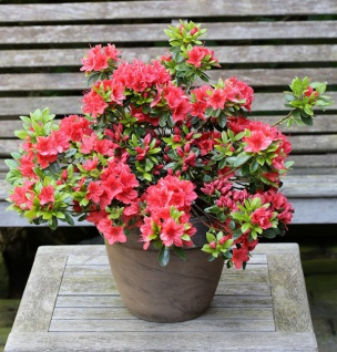 Japanische Azalee Orange Beauty 20-25cm - Rhododendron obtusum - Zwerg Alpenrose