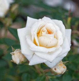 Hochstamm Rose Honeymilk 40-60cm