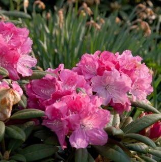INKARHO - Rhododendron Frühlingsanfang 60-70cm - Alpenrose