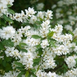 Radspiere Magical Spring Time 100-125cm - Exochorda racemosa