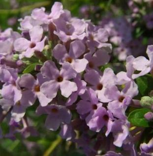 Sommerflieder 100-125cm - Buddleja alternifolia